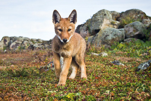 Image result for Ethiopian Wolf Baby
